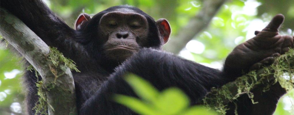 Uganda gorilla primate wildlife safari 8 days