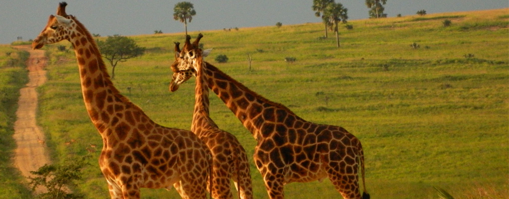 Kidepo Park Safari- Murchison Falls National Park Safari- 7 Days Uganda all wildlife gorilla primate safari (with) Kidepo valley - 14 Days Uganda safari trekking gorillas safari, chimps tracking, game drives, culture. All inclusive Uganda tour to all Uganda national parks with low budget, midrange an luxury holiday options.