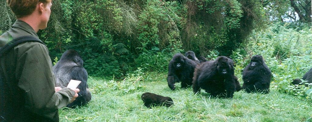 Uganda gorilla habituation experience bwindi