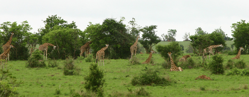 kidepo-giraffe-safari fly kidepo safari flying