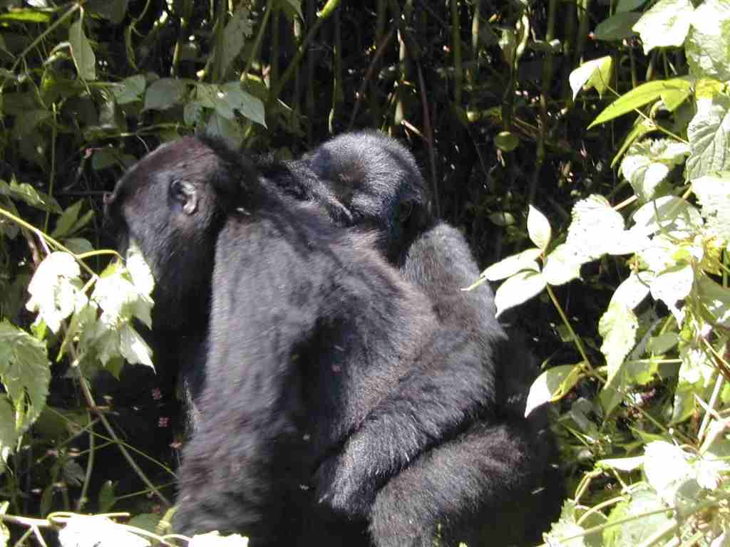 Bwindi mountain gorillas, cost of gorilla trek, price of gorilla safari, uganda rwanda gorilla, gorilla tour trek cost