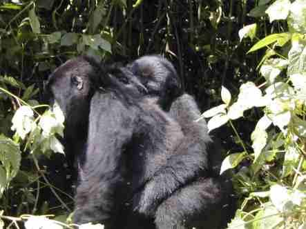 Bwindi mountain gorillas trekking gorilla group gorilla tracking uganda gorilla tour