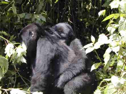 Bwindi mountain gorillas trekking gorilla group gorilla tracking uganda gorilla tour