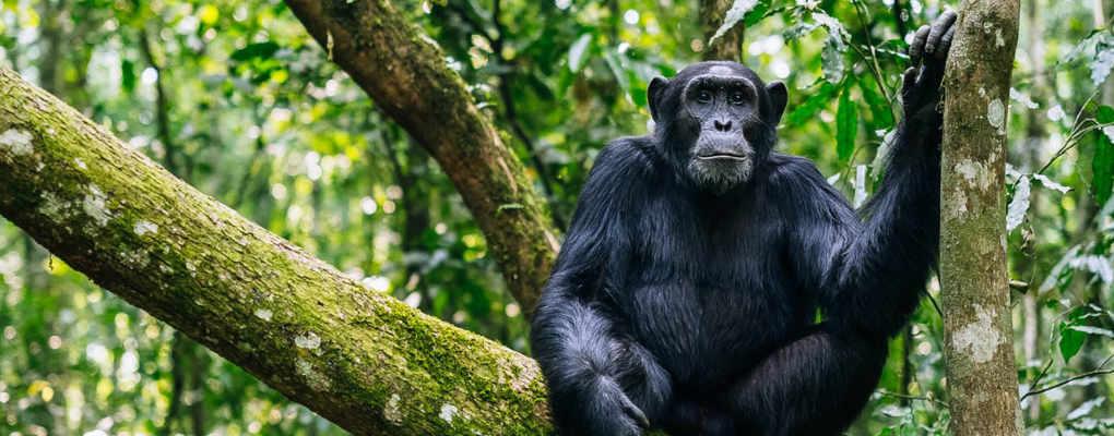 Uganda gorillas trek chimp tour primate safari to uganda