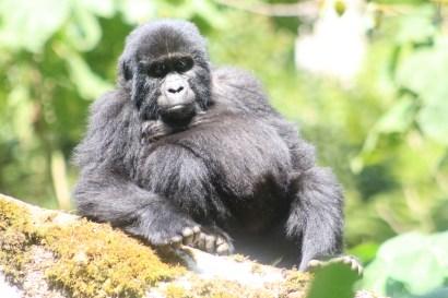 Bikingi Gorilla Family member - for Gorilla Habituation Experience Bwindi Uganda primate safari gorilla tracking chimp monkeys safari, uganda all primates safari, primates Uganda safari gorilla