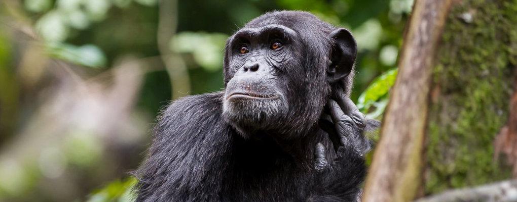 Uganda fly-in primates safari trekking gorillas chimps monkeys Affordable gorillas and Wildlife Safaris