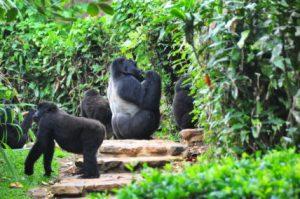 gorilla tracking, Uganda has 15 mountain gorilla group/ gorilla families habituated for gorilla trekking/tracking, gorilla habituation experience for Bwindi.