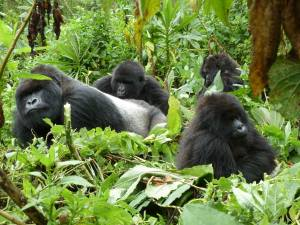 budget 2 days gorilla trek tour uganda cheap gorilla safari