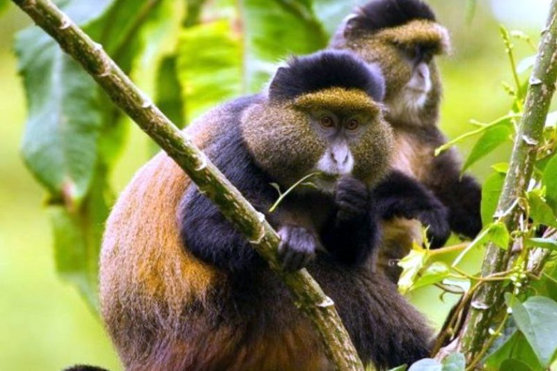 Golden monkey habituation experience gorilla primate chimps habituation tour safari uganda Gorillas and Wildlife Safaris