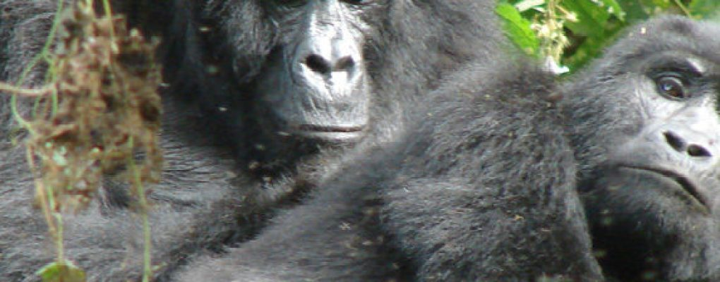 Uganda flying gorilla safari - Gorillas mating on flying gorilla tour Bwindi