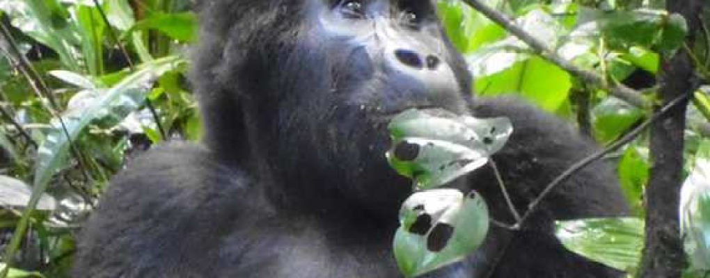 Uganda fly in gorilla safari tour - Mountain gorilla, Bwindi gorilla trek tour Gorillas and Wildlife Safaris