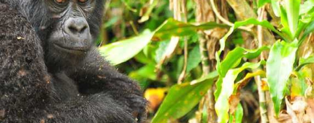 Mountain gorilla, Bwindi, Uganda Gorillas and Wildlife Safaris