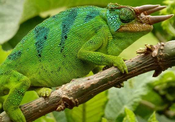 Chameleon, Rwanda