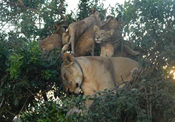 Tree-climbing lions, Queen Elizabeth National Park