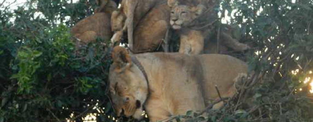 Tree-climbing lions, Queen Elizabeth National Park