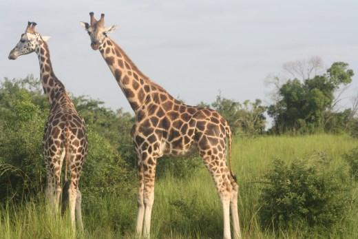 Safari Rwanda