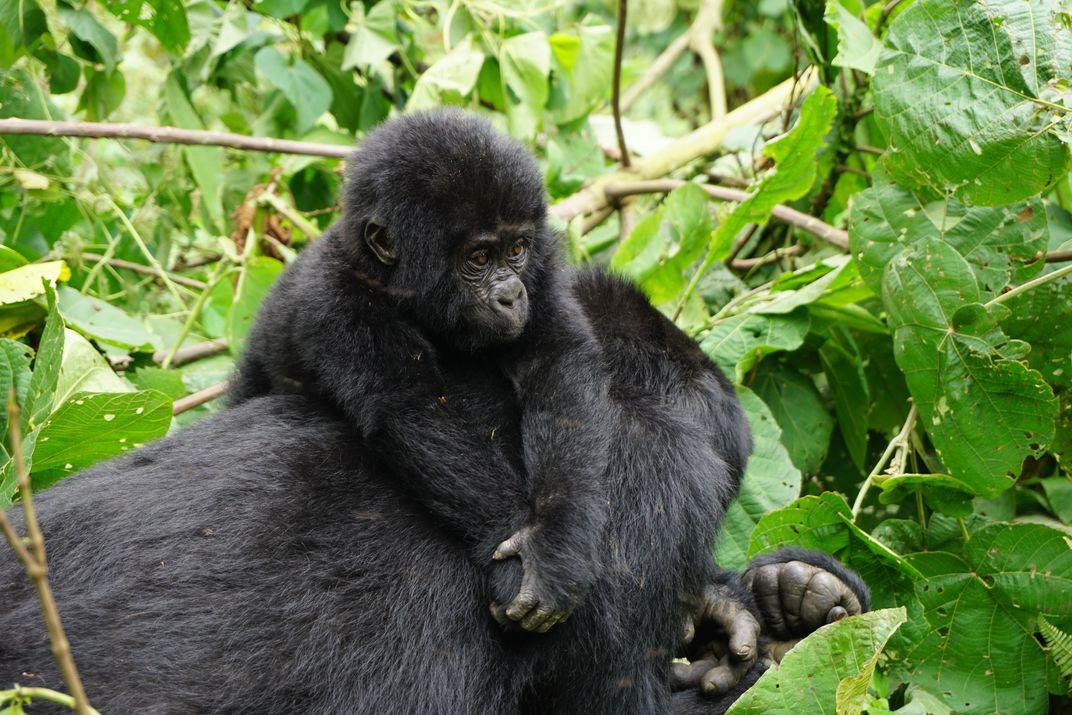 Gorilla trekking in Rwanda- Volcanoes National Park