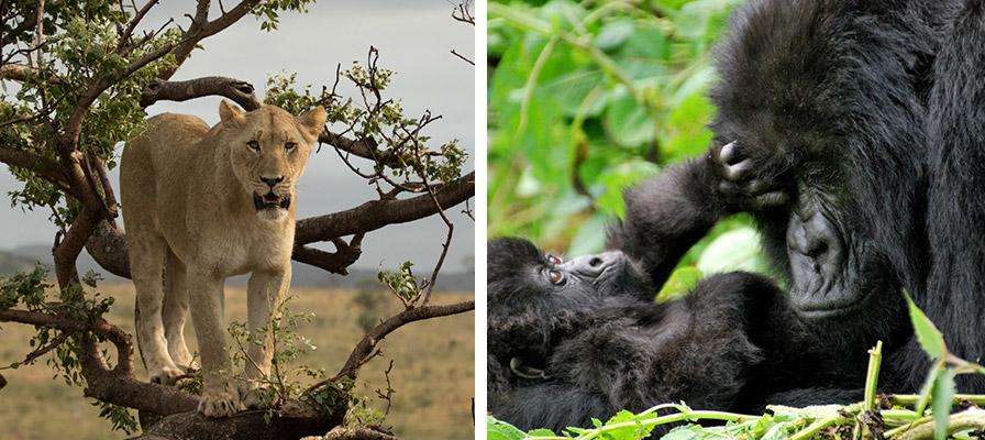 Wild Uganda Safari - Wildlife viewing, Game drives, Gorilla Trekking Safari,7 Day Chimps