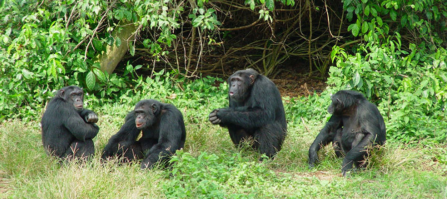 chimps and gorilla trekking,Uganda Rwanda Safari ,- Ngamba Island Chimpanzee Sanctuary - Chimpanzee Tracking - Places to track Chimpanzees in Uganda