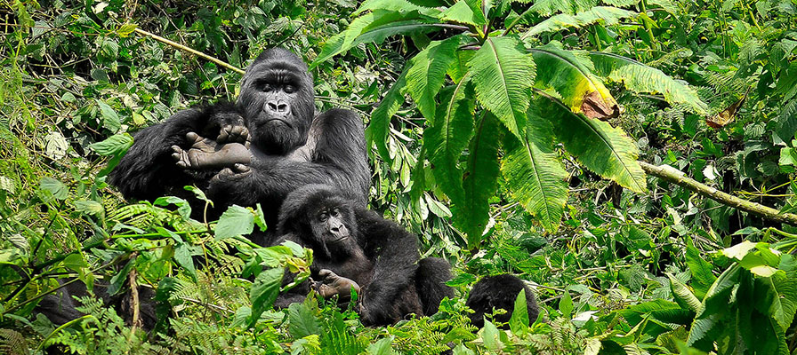 18 Day Animated Gorillas and Wildlife Safari