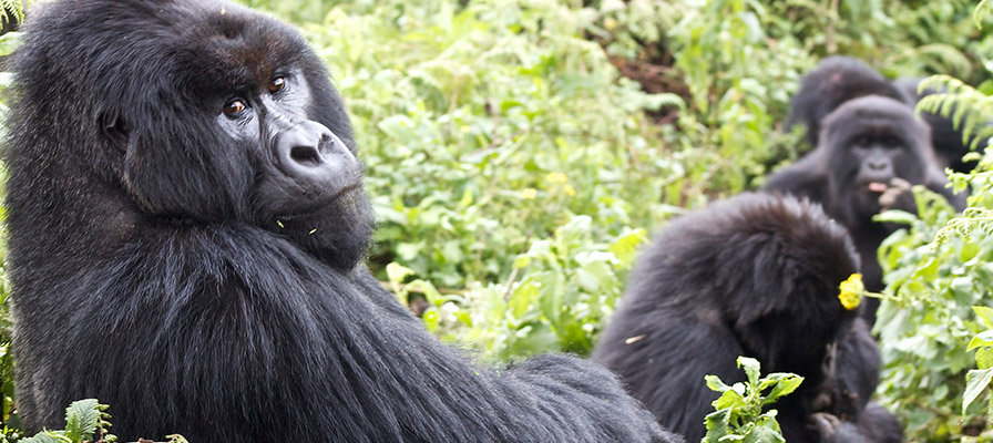 Primates Safari Uganda – Gorilla Trekking & Chimpanzee Safari