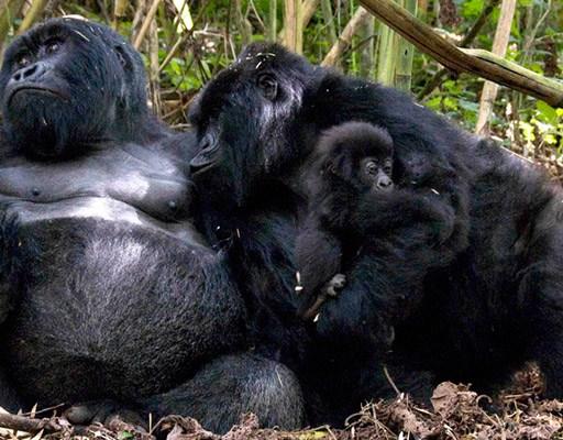 Rwanda gorilla groups and families