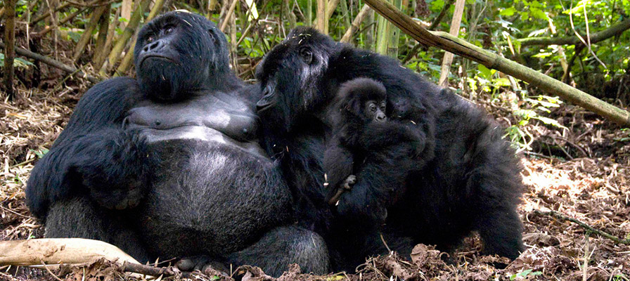 Rwanda gorilla groups and families