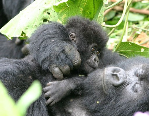 Uganda's Gorilla Tactics - Gorilla Family in Volcanoes National Park - Rwanda Gorilla Safari