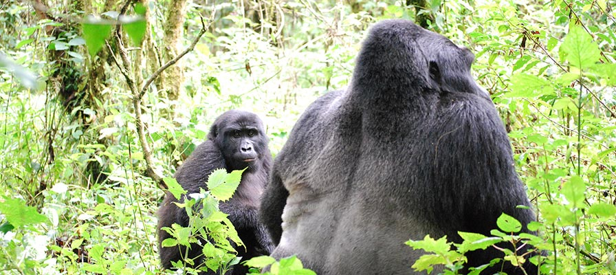 4 Day Chimps & Gorilla Trekking Tour - Uganda Gorilla Safari