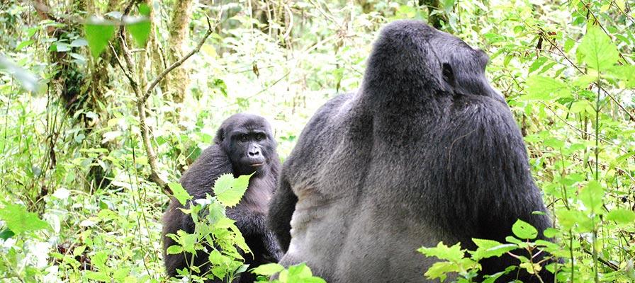 Chimps and Gorilla Trekking Tour