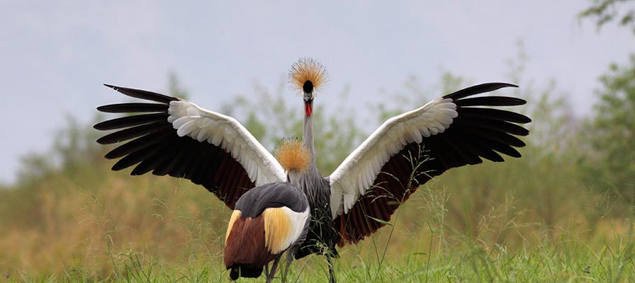 Long Uganda safaris - Great Uganda - The Crested Crane