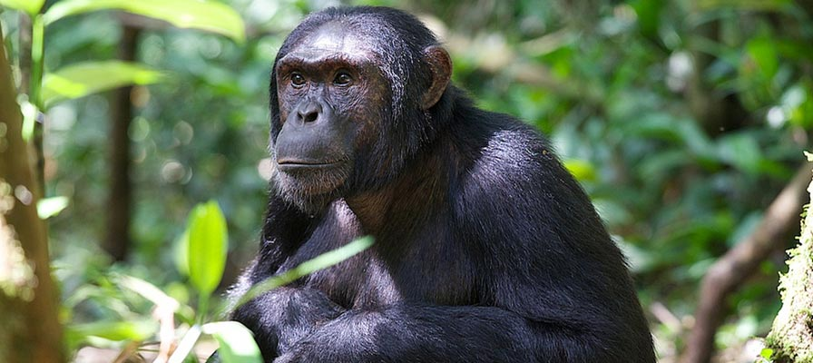Kebale Forest National Park Chimp Trek