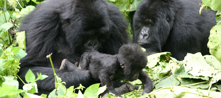 Momma gorilla sniffing baby's bum while auntie looks on, Volcanoes National Park, Rwanda