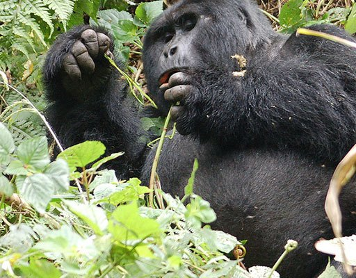 Gorilla Tracking Experience; Compare gorilla trekking in Uganda vs in Rwanda