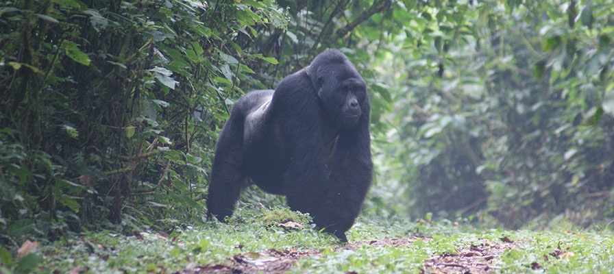 5 Days Gorilla Trek Africa & Uganda Wildlife Safari