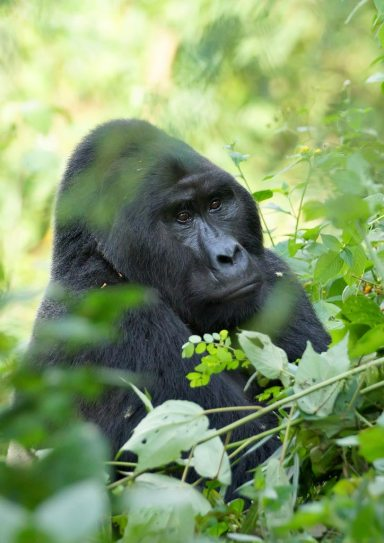 The Silverback Mountain Gorilla