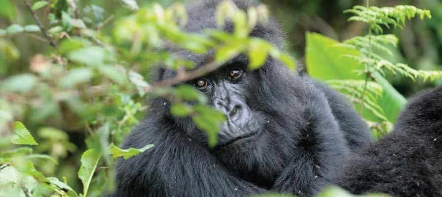 Volcanoes National Park, Rwanda Gorilla Trekking Tour Safari