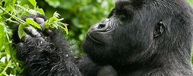 Gorilla Trekking Trips, Tours and Safaris to Rwanda and Uganda