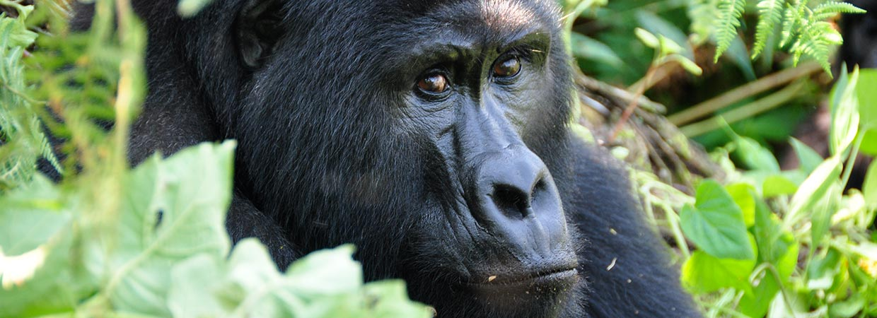 Gorilla Trekking Day Tours, Gorilla Tracking Safaris, Uganda Gorilla tracking
