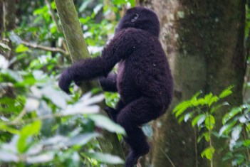 Gorilla Youngstar: Visitors are given one hour to watch the gorillas in their natural habitat