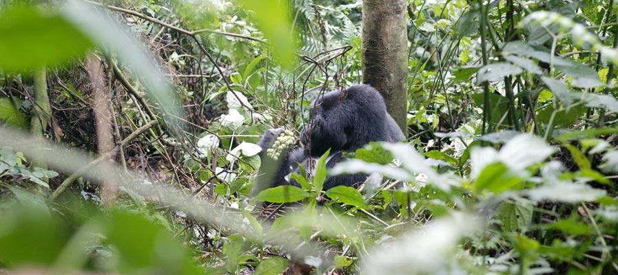 Gorilla trekking in Bwindi Jungle in Uganda - Uganda Wildlife Holiday Adventure safari