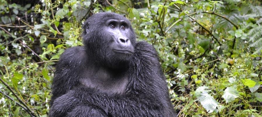 A sub adult female in Rushegura Group, Bwindi Impenetrable National Park