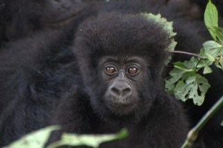 Gorilla Groups in Congo, An infant in Bageni group
