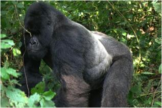 Gorilla Groups in Congo, Silverback Bukima, the dominant leader of Rugendo group.