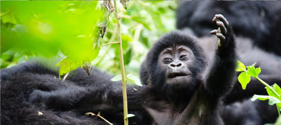 8 DAY GORILLA TREK UGANDA & WILDLIFE SAFARI