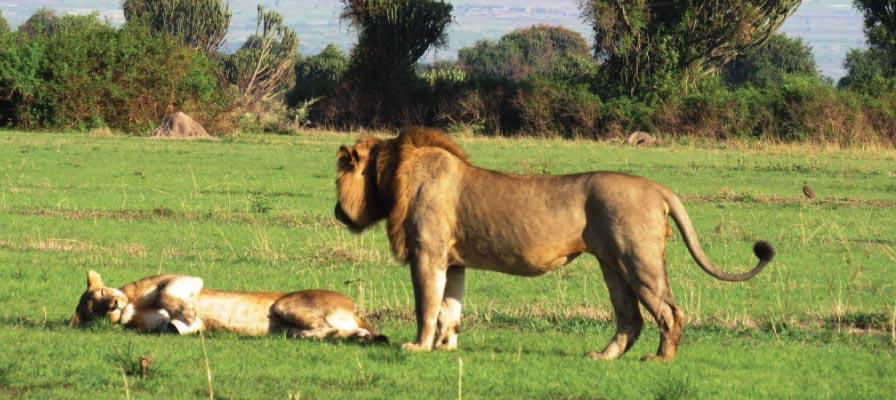 Uganda Wildlife Safari - QENP Lions chilling