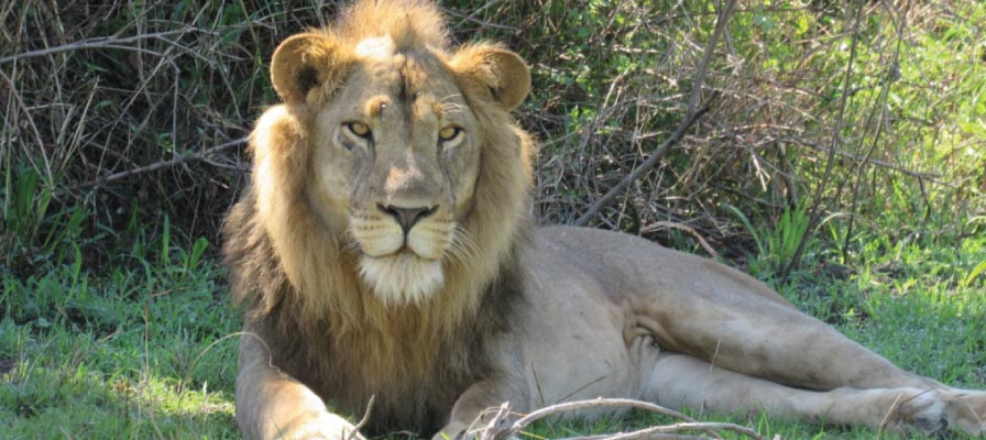 Lion tracking experience in the Kasenyi plains