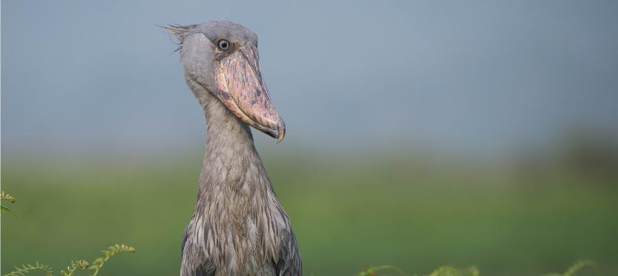 The Legendary Shoebill - Uganda Birding Safari and Bird watching Tour
