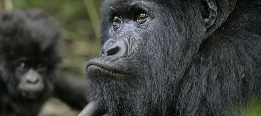 Tracking Gorillas in Congo