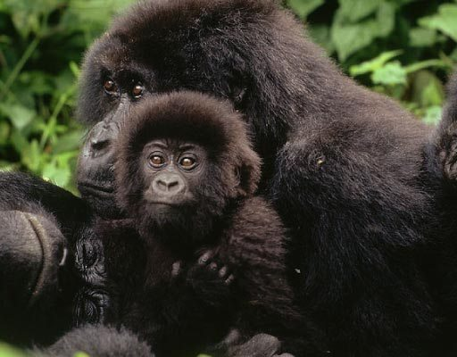 Gorilla Groups in Congo, Virunga National Park, Gorilla Tracking, Gorilla Families